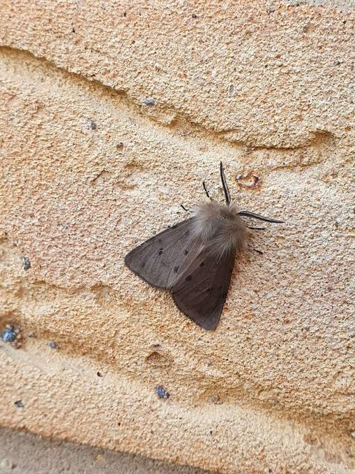 Muslin moth (Cambourne)
