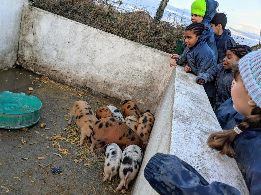 The piglets being fed and watered