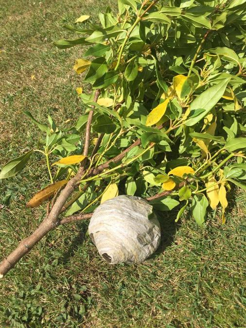 Daniel found a wasp nest!