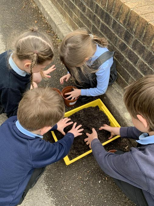 Planting our sunflower seeds