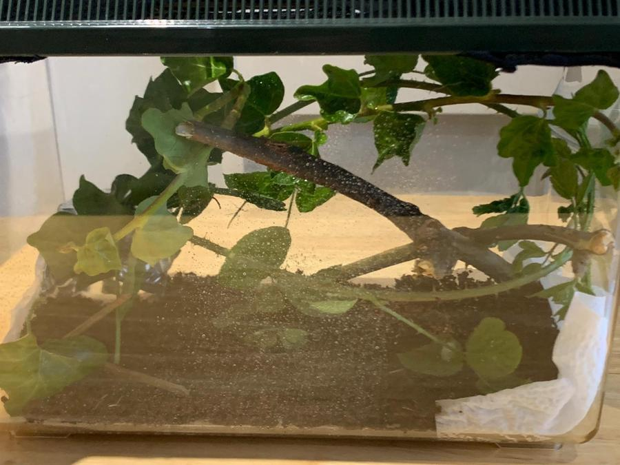 Teddy got stick insects for his birthday