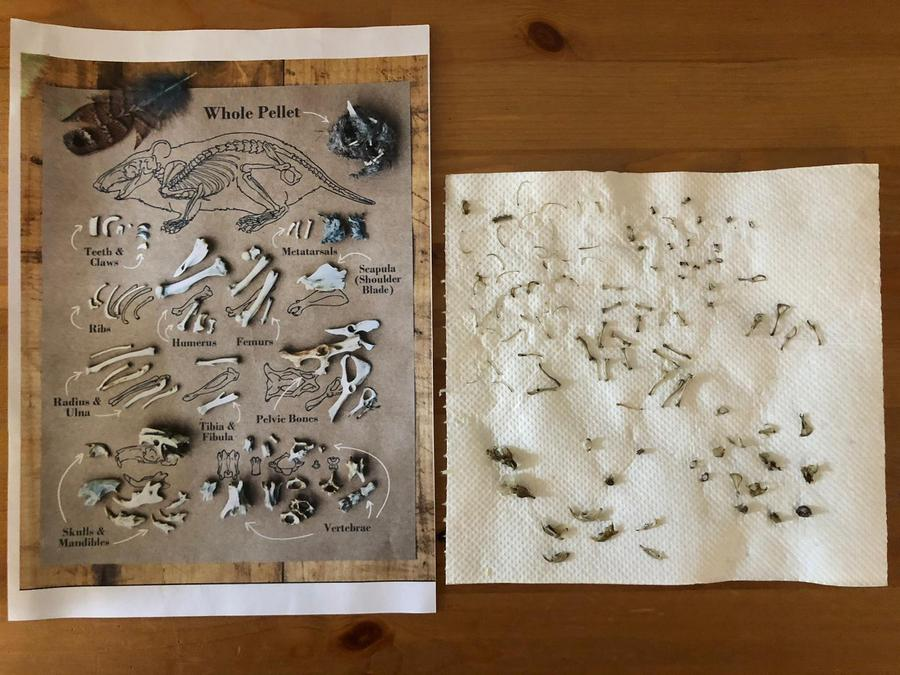 She found and sorted bones froma shrew and 2 voles