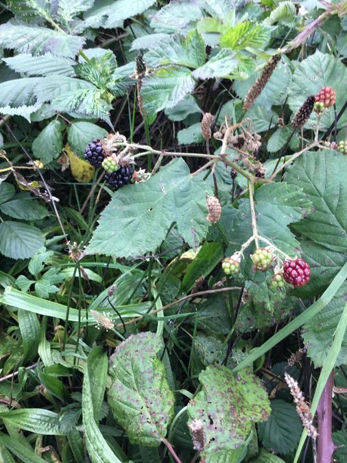 Brambles with blackberries - more food!