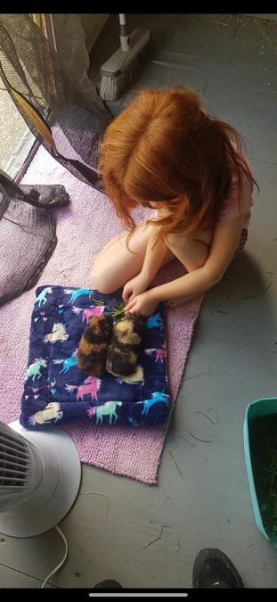 She's also been looking after her guinea pigs!