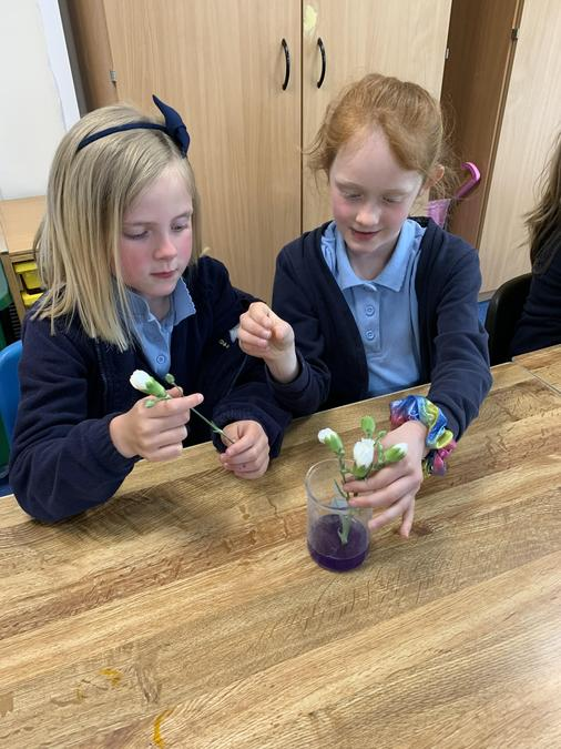 Colourful carnations investigation