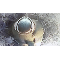 Mother Blue tit sitting on her eggs.