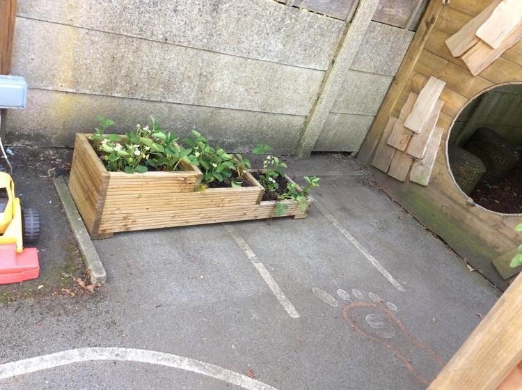 Planting area- strawberries