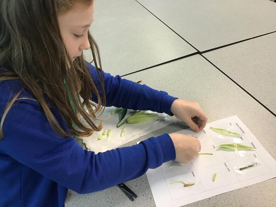 A flower dissection in Year 5