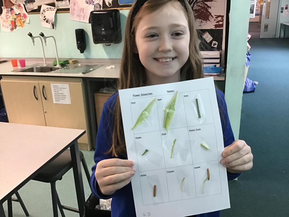 Displaying the results of a flower dissection in Year 5