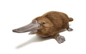 An adult platypus.