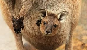 A joey in its mother's pouch.