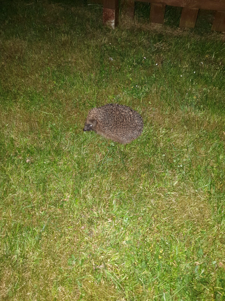 I see a hedgehog in Lily's garden.