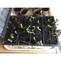 Sunflowers in progress