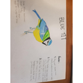 Blue Tit by Evie