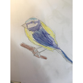 Blue Tit by Daniel M