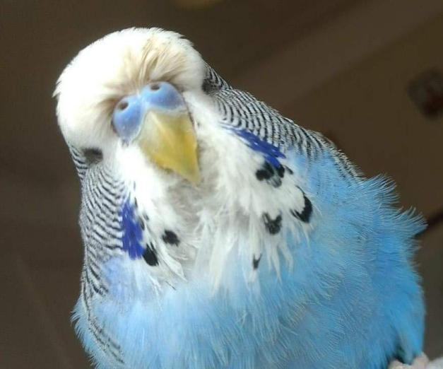 This is Steven the budgie. He loves to fly around and land people's heads.