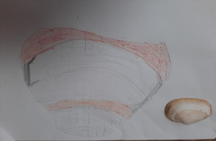 Amelia's shell sketch