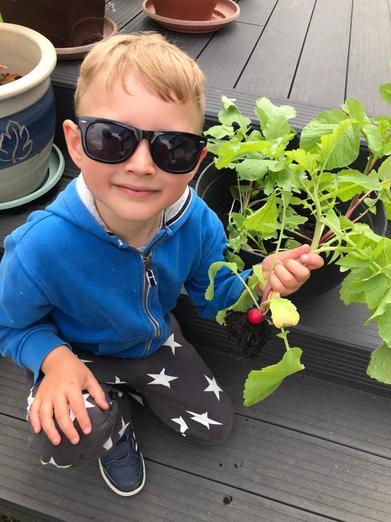 Harvesting radish...