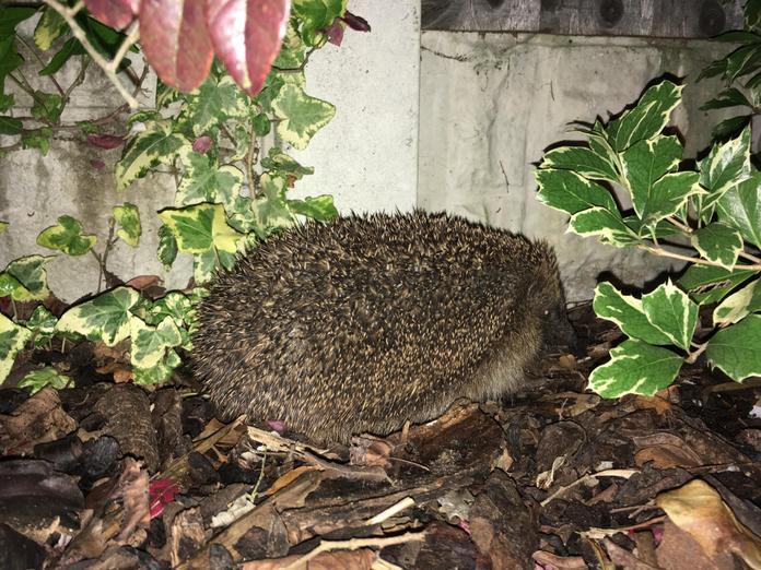 Grace's garden hedgehog