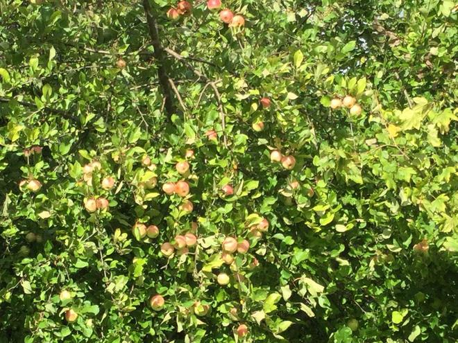 Apples ready for harvesting! 26.9.2020