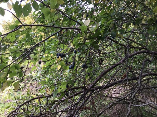 Damson tree in fruit - 26.9.2020