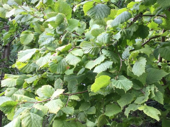 Hazel- leaves and catkins 26.9.2020
