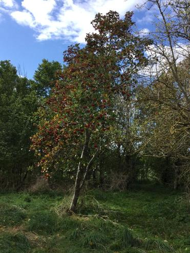 Wayfarer tree - red fruits in autumn and white flowers in spring. 26.9.2020