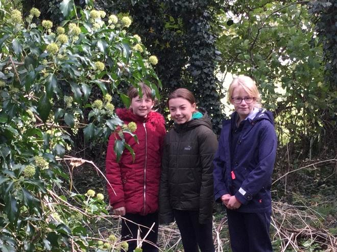 Three amigos - with ivy in flower and fruit.