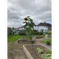 Our tallest sunflower so far, it's taller than the fence!