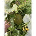 Our pumpkins growing nicely!