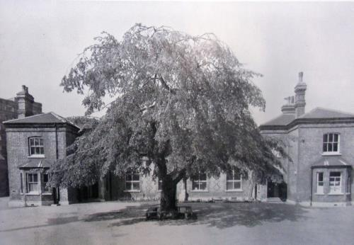 The Elm tree that used to be in the playground