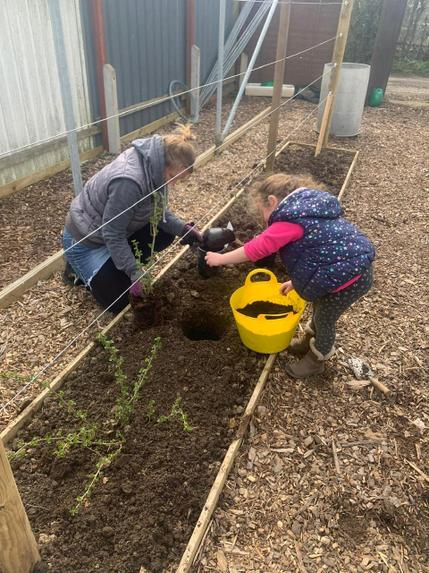 Planting berries at the allotment