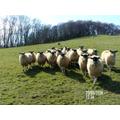 William's sheep