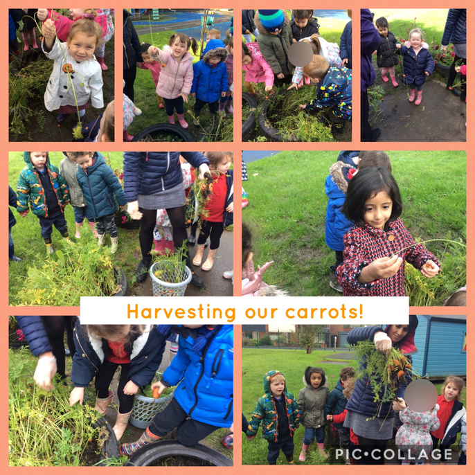 In the summer term we planted some carrots in our outdoor area at nursery and the children have enjoyed looking after them. We decided that now the season has changed and the weather is getting colder, that it was a good idea to pick our carrots before it gets too cold for them outside. The children enjoyed sharing their ideas about what we could do with the carrots once we had picked them. We also enjoyed talking about Harvest and Autumn and what these words meant. The children have enjoyed bringing in natural objects which they have found out of nursery. Well done everybody!