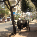 Cows are sacred so wander freely in the street.