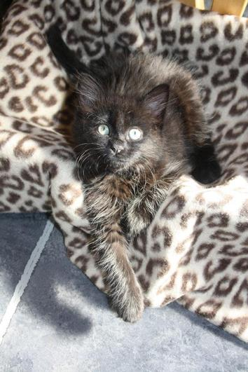 Dolly showing as a kitten what a Diva she is!