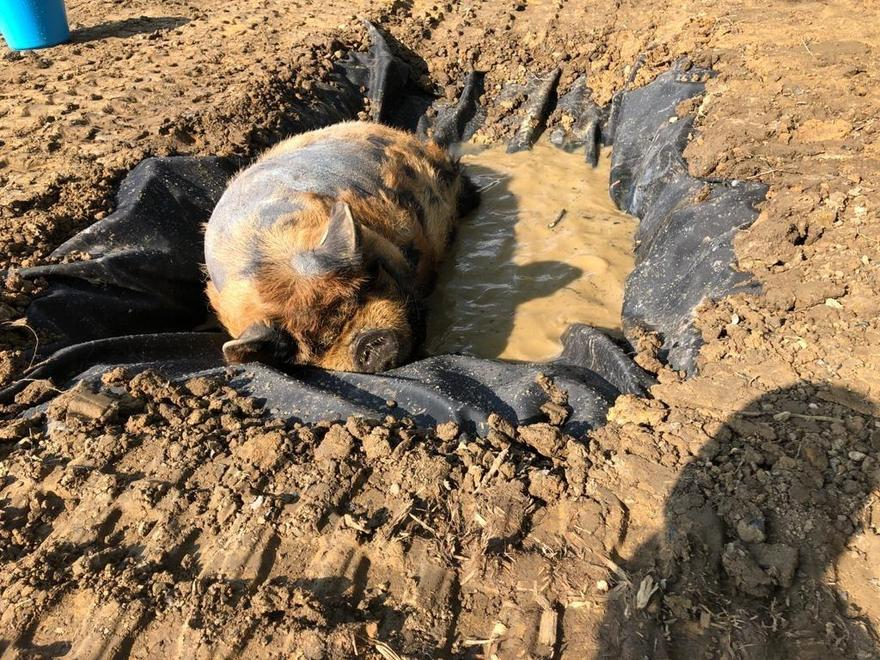 Jack helped to dig this wallow to cool his pig!