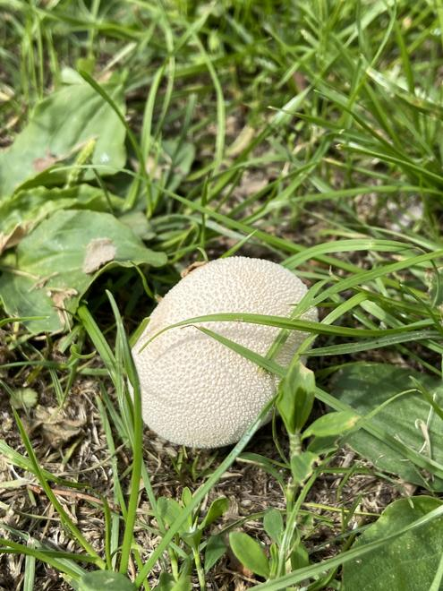 A puffball - one morning the field was covered in them!