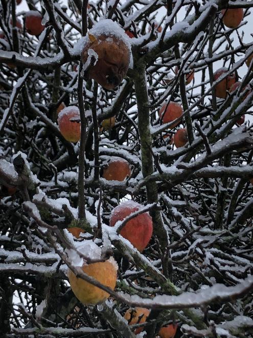 Frozen apple tree
