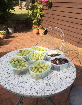 Gooseberry and blackcurrant harvest