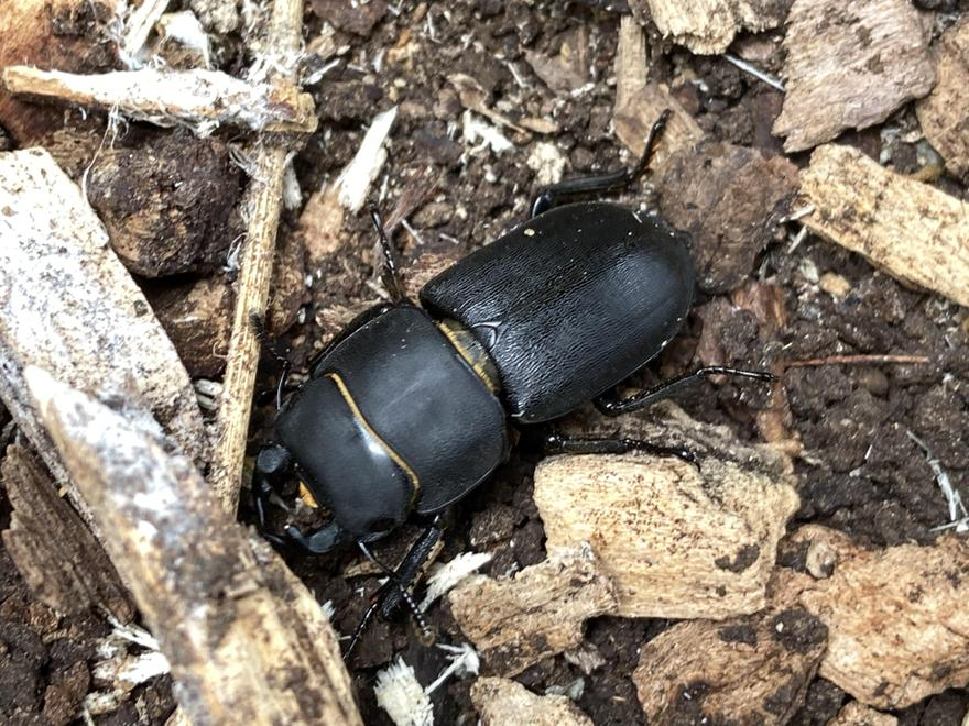 A lesser-stag beetle - we often find these large insects under the many log piles.
