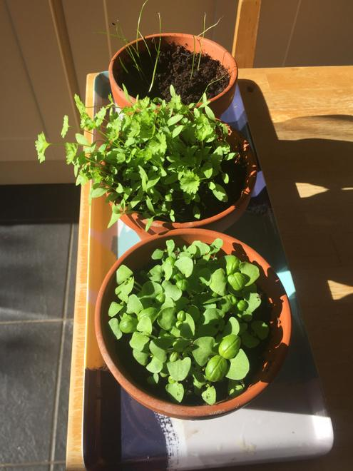My herb seeds growing