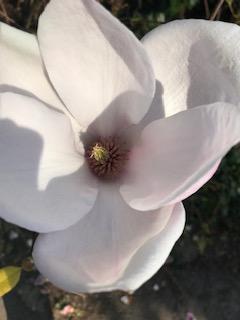 Magnolia flower on my walk