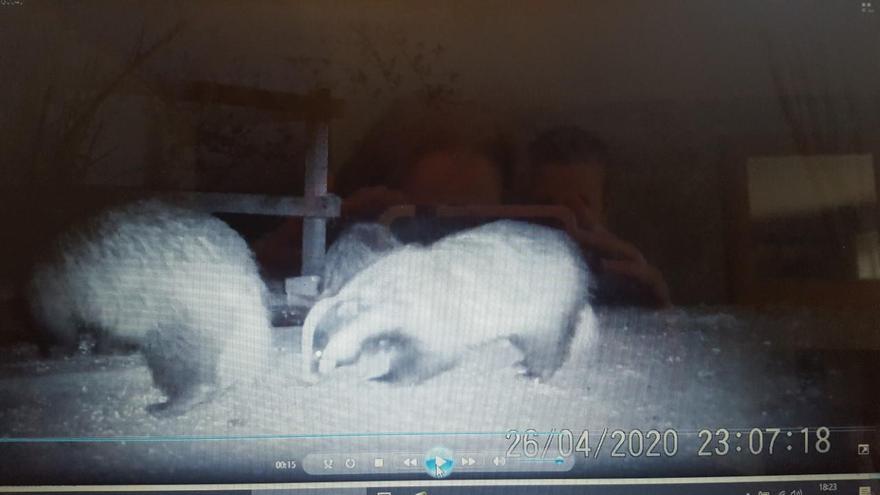 Badgers on Thomas' Farm