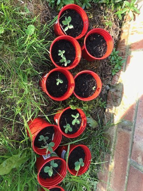 Sweet peas are growing