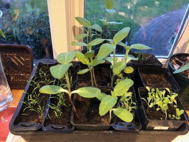 Nicole's carrot, sunflower and lettuce seedlings