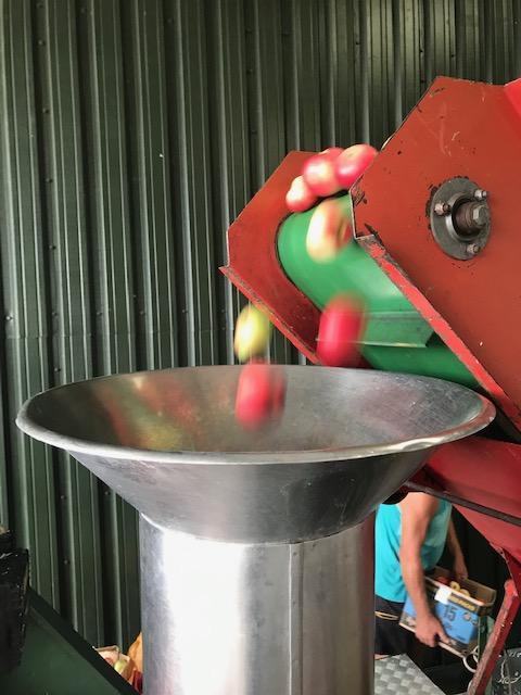 Apples tumble into the hopper