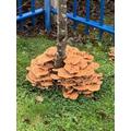WOW! Honey fungus everywhere this year!!