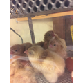 Say 'Hello' to - Chocolate, Bouncy, Fluffy