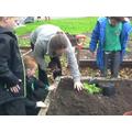 Mrs Stokes pats down the soil